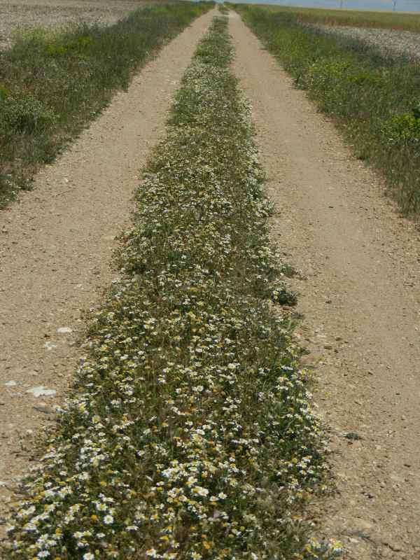 Fleurs sur le Camino (Castille et Léon) - © Jacques Dubucq